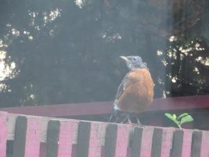 Robin 4